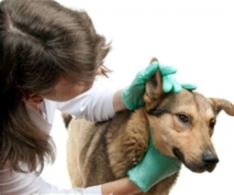 complications   canine lymphoma