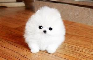 Wo finde/ kaufe ich einen Zwergspitz Pomeranian ...