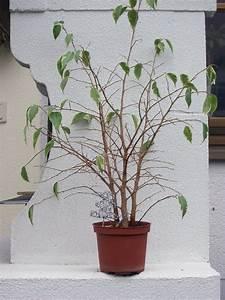 Ficus Bonsai Schneiden : hilfe frostschaden ficus pflegen schneiden veredeln green24 hilfe pflege bilder ~ Indierocktalk.com Haus und Dekorationen