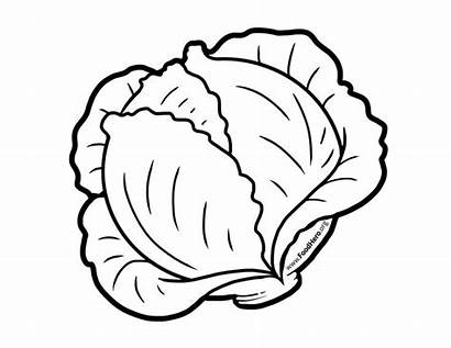 Cabbage Clipart Drawing Coloring Pages Draw Outline
