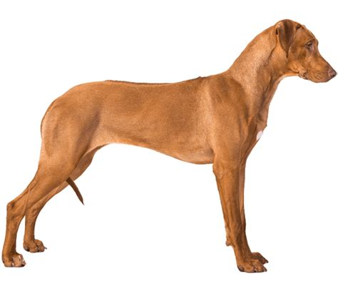Rhodesian Ridgeback Excessive Shedding by Rhodesian Ridgeback Breed Health History
