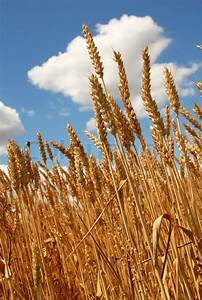 Yellow wheat plant on field over scenic blue sky | Stock ...