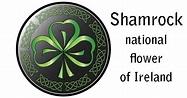 Shamrock – national flower of Ireland