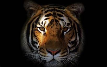 Tiger Face Wallpapers Desktop Laptop Animal Cool