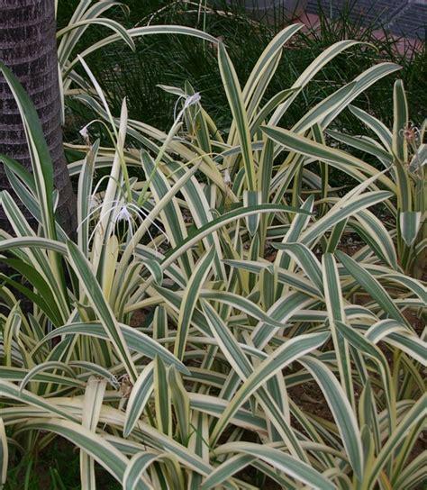 Hymenocallis caribaea 'Variegata' SNG 3.07 - GardenDrum