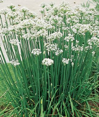 Tanaman Kucai By Bb Plant garlic chives seeds and plants growing herb gardens at