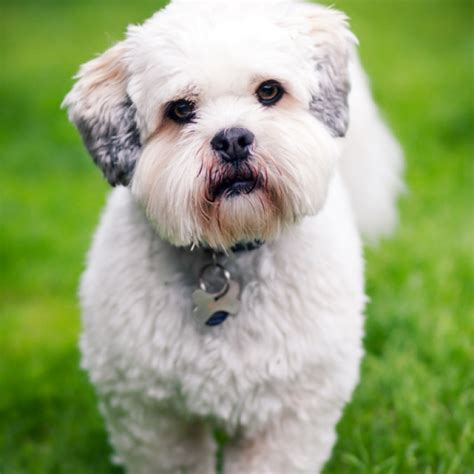 Lhasa Apso Breed Information and Facts