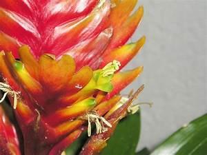 Flammendes Schwert Pflanze : flammendes schwert vriesea hybride majas pflanzenblog ~ Frokenaadalensverden.com Haus und Dekorationen