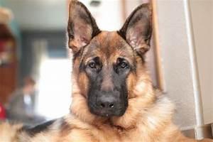 6 Best Dog Food For Epi German Shepherd