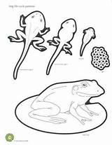 Frog Cycle Coloring Science Drawing Pages Sheet Cycles Rana Preschool Molina Yadier Pond Worksheets Frogs Ciclo Vida La Tadpole Template sketch template