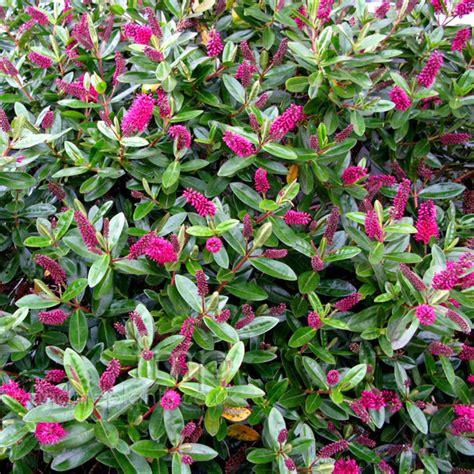 hebe chion hebe plant plant pictures hebe speciosa la seduisante hebe