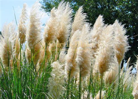 Pampas Grass at Myrtle Beach-IMG_0433.jpg | Curtis Blake ...