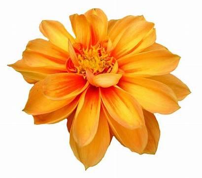 Flower Transparent Dahlia Clipart Webstockreview Pngpix