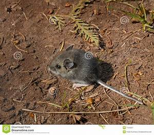 Forest floor wood mouse apodemus sylvaticus royalty free for Mice in between floors