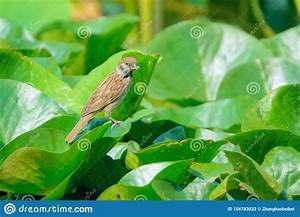 Sparrow On Water Lily Leaf Stock Photo  Image Of Wildlife