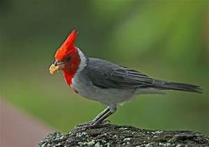 Cardinal | wild birds | Wild Animal and Birds