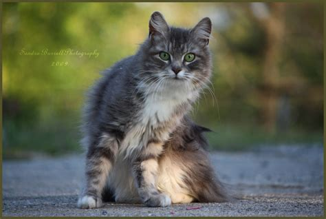 The Gallery For --> White And Grey Tabby Cat
