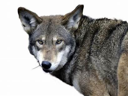 Wolf Wolves Animals Habitat Territory Reintroduction Open