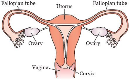 Wiring And Diagram: Diagram Of Uterus And Stomach