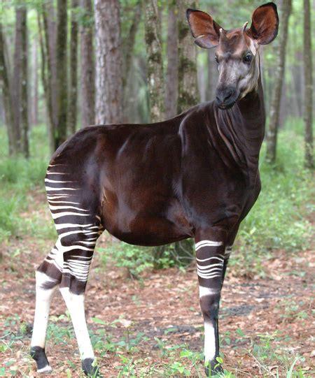 'forest Giraffe' Now Endangered Okapi Populations Drop 50