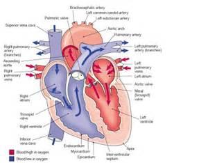 Pathway Blood Flows through Heart