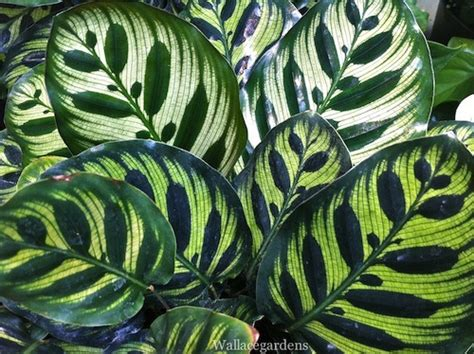 low light plants outdoor prayer plant maranta indoor houseplant for low wallace gardens