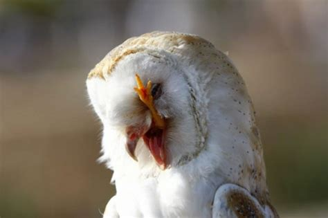 Do Barn Owls Eat Cats by Photograph Of The Week