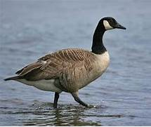 Follow the Piper: CANADA GEESE