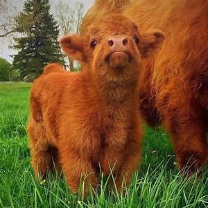 If You Ever Feel Sad, These 10+ Highland Cattle Calves ...