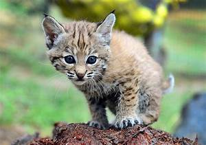 Bobcat Kitten Rescued After Being Mistaken For A Domestic