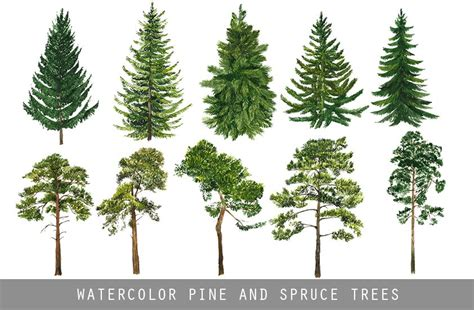 Kiefer Fichte Unterschied by Watercolor Pine And Spruce Trees Illustrations