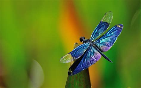 Animated Dragonfly Wallpaper - dragonfly wallpaper www pixshark images galleries