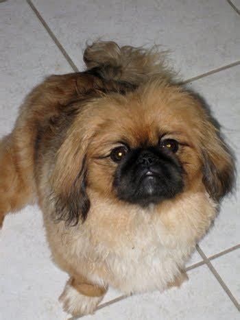 pekingese dog breed  dog pictures