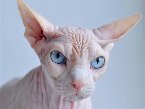 Cute Funny Animalz: Funny Sphynx Cat 2013