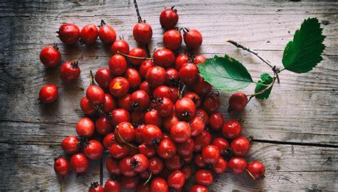 berries hawthorn benefits health gloga hawthorne ljekovitost kapi gdje kupiti izrada nuspojave amazing