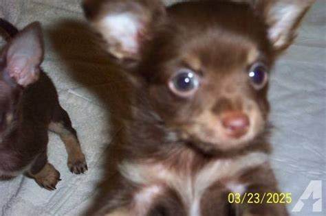 ckc chocolate chihuahua puppies  sale  pittsboro