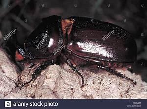 Großer Schwarzer Käfer Bilder : nashorn k fer ein gro er k fer verursacht immense sch den palmen zu coconut durch grabende in ~ Frokenaadalensverden.com Haus und Dekorationen