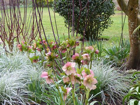 hellebores growing conditions how to grow hellebores ashwood nurseries