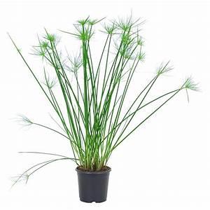 Grünpflanzen Im Topf : zyperngras topf ca 14 cm cyperus diffusus haspan kaufen ~ Michelbontemps.com Haus und Dekorationen