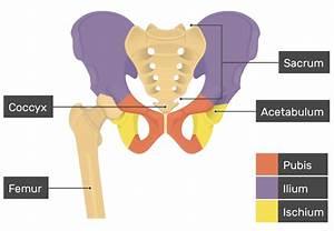 Hip Bone Anatomy  U2013 Introduction