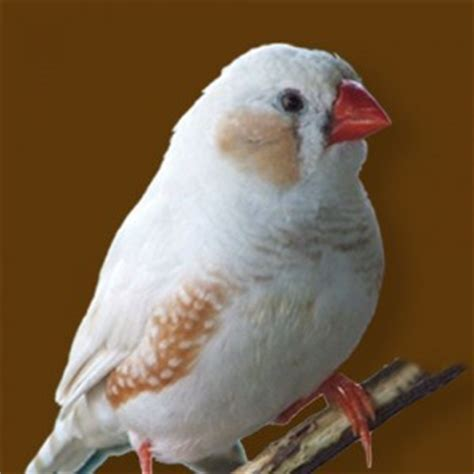 finches as pets finch personality food care pet birds by lafeber co