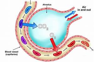 How Does The Structure Of The Alveoli Relate To Its