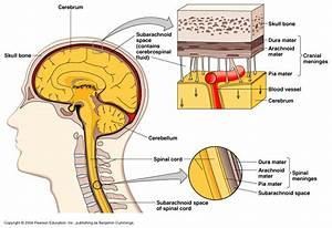 More On The Spinal Column  The Meninges