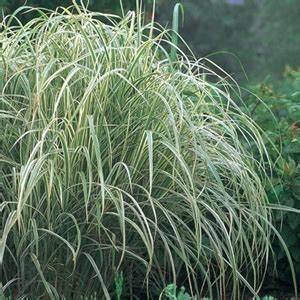 Miscanthus Sinensis Variegatus : miscanthus sinensis 39 variegatus 39 variegated maiden grass white ~ Eleganceandgraceweddings.com Haus und Dekorationen