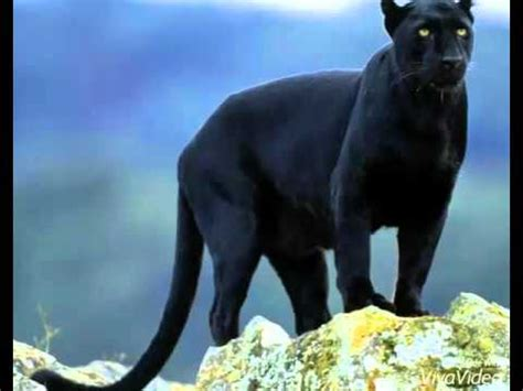 Isuzu Panther Hd Picture by Pictures Of Panthers And Panther Kittens