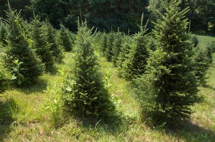 artificial vs organic christmas trees lovetoknow