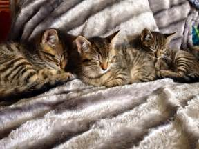 toyger cats toyger x kittens oswestry shropshire pets4homes