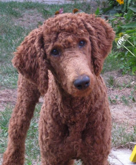 Standard Poodle Haircuts | Best Poodle Cut Ideas And Images On Bing Find What You Ll Love