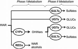 Warfarin Metabolic Pathways  Simple Diagram Shows Phase I
