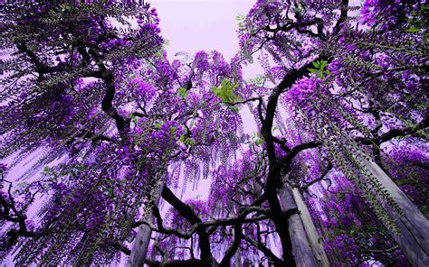 Wisteria Ashikaga Flower park Japan-tree with Purple ...